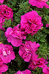 PETUNIA 'GLOW DOUBLE PURPLE'