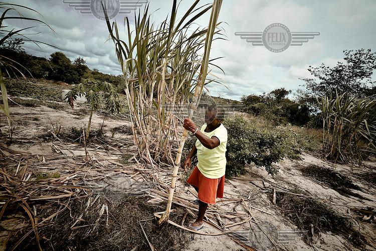 A farmer picks sugar cane on her farm.