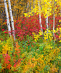 Wenatchee National Forest, WA<br /> Small grove of aspen (Populus tremuloides) with red-osier dogwood (Cornus solonifera) in fall color