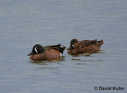 0720-0801  Male and Female Breeding Pair of Blue-winged Teals, Anas discors © David Kuhn/Dwight Kuhn Photography