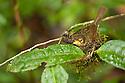 Spectacled greenbul on nest {Bernieria zosterops}. Tropical rainforest, Masoala Peninsula National Park, north east Madagascar.