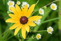 Rudbeckia hirta (Black-eyed Susan) and Erigeron philadelphicus (Philadelphia Fleabane) flowers.