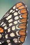 Wing scales of Baltimore Checkerspot Butterfly, Euphydryas phaeton