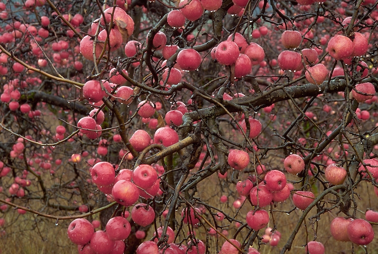 Apples left on trees in Anderson Valley, Mendocino County California,