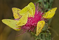 390210002 wild cloudless sulphur butterflies phoebis sennae feed on nectar from a thistle flower in garden canyon fort huachuca cochise county arizona united states