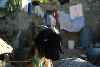 A goat stares from behind a stone wall in Real de Catorce, SLP, Mexico