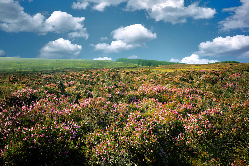 Wild heather near Ballycastle. Northern Ireland