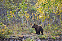 One year old grizzly bear cub on the tundra in Denali National Park, Interior, Alaska.