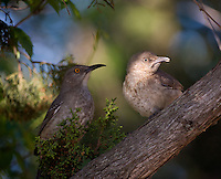 Curve-billed thrasher chick and mom, Toxostoma curvirostre, Lake Tanglewood, Texas
