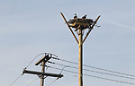 A pair of Ospreys take to their relocated nest in Monmouth Beach,  NJ