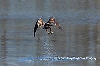 00807-03817 Bald Eagle (Haliaeetus lecocephalus) immature fishing Clinton Co. IL