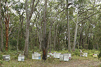 An apiary in a forest of eucalyptus. The eucalyptus, of the Myrtacea family, originated in Australia where the moreover dominate 95% of the forests with more than six hundred varieties. Their height varies from a few meters to nearly 90 meters. With the eucalyptus, it is quite easy to foresee the blooming period by looking at the buds but not all the trees flower every year and knowledge of the varieties and the blossoming cycles linked to pluviometry is essential. (Some varieties only flower when they are adults).///Un rucher dans une forêt d'eucalyptus. Les eucalyptus, de la famille des Myrtacea sont originaires d'Australie où ils dominent d'ailleurs 95 % des forêts avec plus de six cents espèces. Leur taille varie de quelques mètres à près de 90 mètres. Avec l'eucalyptus, il est assez facile de prévoir les floraisons en regardant les bourgeons mais tous ne fleurissent pas tous les ans et la connaissance des espèces, des cycles de floraisons liés à la pluviométrie est essentiel. (Certaines espèces fleurissent seulement à l'âge adulte).