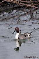 0716-0802  Male Northern Pintail, Anas acuta © David Kuhn/Dwight Kuhn Photography