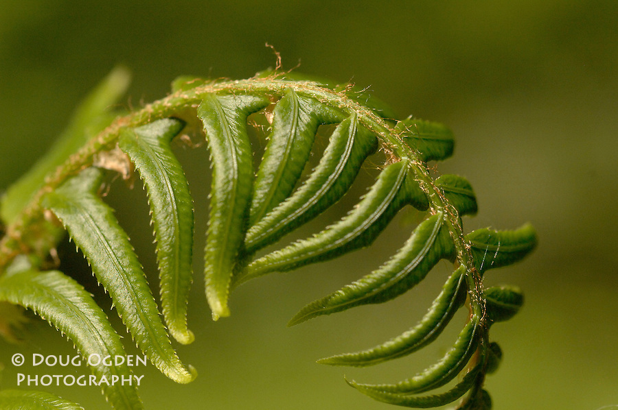 Fiddlehead fern frond