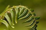 Fiddlehead fern frond