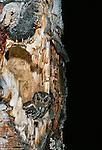 Flammulated owl in nest, Washington