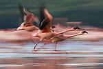 Lesser flamingos (Phoenicopterus minor) flying, motion blur