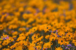Namaqualand daisies, Dimorphotheca sinuata, Namaqua National Park, Namaqualand, Northern, Cape, South, Africa