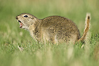 Richardson's Ground Squirrels