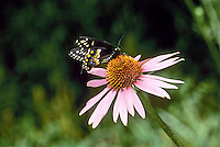 black swallowtail,papilio polyxenes, drinking from a coneflower, Missouri USA