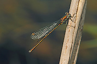 Gemeine Weidenjungfer, Chalcolestes viridis, Lestes viridis, Willow Emerald Damselfly, Binsenjungfer