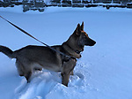 Breed of Animal:	german shepherd mix<br />