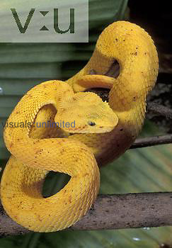 Eyelash Viper with its tongue extended ,Bothriechis schlegelii,, an arboreal venomous species, yellow phase. Central & South America.