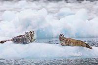 Harbor seals haulted out on floating icebergs from Meares glacier in Prince William Sound, Alaska.