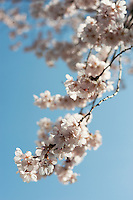 A branch of pale pink sakura cherry blossoms shows almost white against the blue sky.