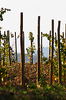 "Vines pruned on stakes, ""echalat"". Mas Igneus, Gratallops, Priorato, Catalonia, Spain."