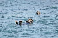 Asian sea otter, Enhydra lutris lutris, endangered species, and curious harbor seal, Phoca vitulina, Cape Erimo, Hokkaido, Japan, Pacific Ocean