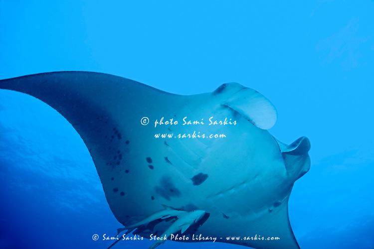Underside of a giant manta ray (manta birostris), Maldives,