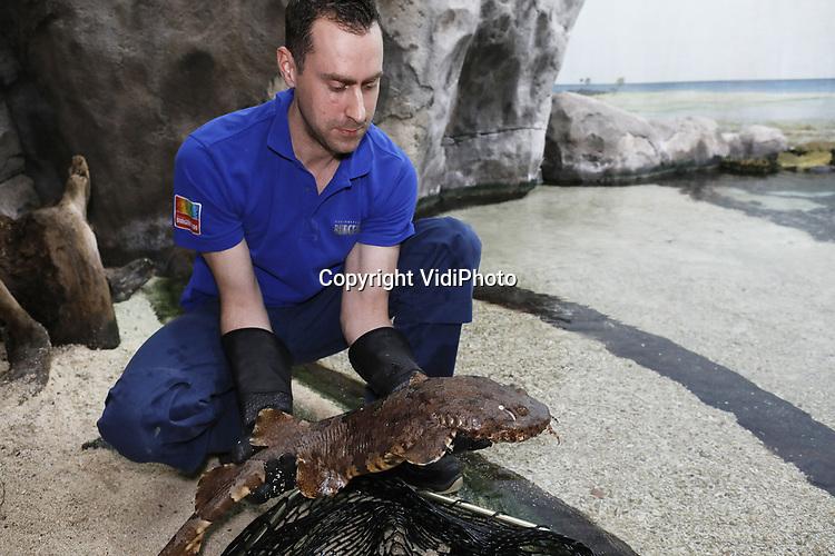 """Foto: VidiPhoto<br /> <br /> ARNHEM – Burgers' Zoon in Arnhem is sinds maandag twee tapijthaaien rijker. De vissen, ook wel wobbegongs genoemd, zijn afkomstig uit een aquarium in het Duitse Leipzig dat op dit moment verbouwd wordt. De haaien werden maandagmorgen uitgezet in de lagune van Burgers' Ocean. De Arnhemse dierentuin is het enige Nederlandse park dat tapijthaaien heeft. De dieren zijn maar weinig te zien in Europese aquariums omdat ze """"apart gedrag vertonen"""" en lastig in leven kunnen worden gehouden. Volgens bioloog Max Janse van Burgers' Zoo zijn het """"luie eters."""" Ze wachten op de bodem tot er een prooi langs zwemt en komen dan pas in beweging. Daarom worden ze dagelijks met een stok gevoerd. De bodemhaaien kunnen 1.20 meter lang worden en zijn 'eierlevendbarend'. Dat wil zeggen dat ze eieren in hun eigen lichaam leggen. Daarna volgt bevruchting, waarna de jongen levend gebaard worden. Burger's Ocean telt nu zes verschillende haaiensoorten."""