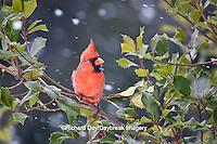 01530-206.10 Northern Cardinal (Cardinalis cardinalis) male in American Holly tree (Ilex opaca) in winter, Marion Co., IL