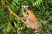 Ring-tailed Lemur (Lemur catta), adult in a tree, Berenty Reserve, Madagascar, Africa