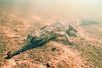 fresh water crocodile, Crocodylus johnstoni, Queensland, Australia