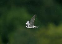 American Black Tern - Chlidonias niger surinamensis - Juvenile