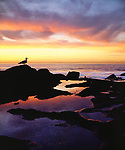 USA; California; San Diego.   A seagull at Sunset Cliffs tidepools on the Pacific Ocean reflecting the Sunset. Credit as: Christopher Talbot Frank