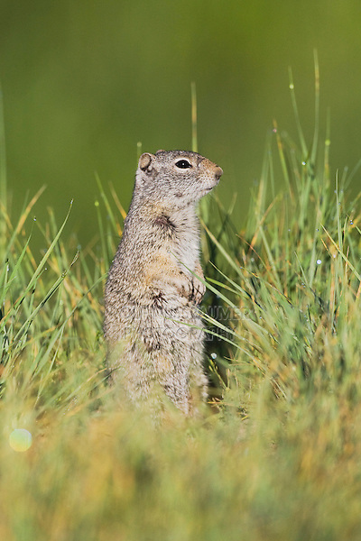 Wyoming Ground Squirrel (Spermophilus elegans),adult in grass,Rocky Mountain National Park, Colorado, USA