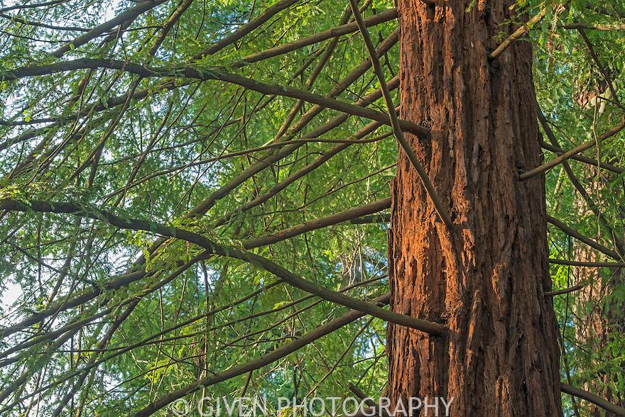 Redwood Tree in morning light, Washington