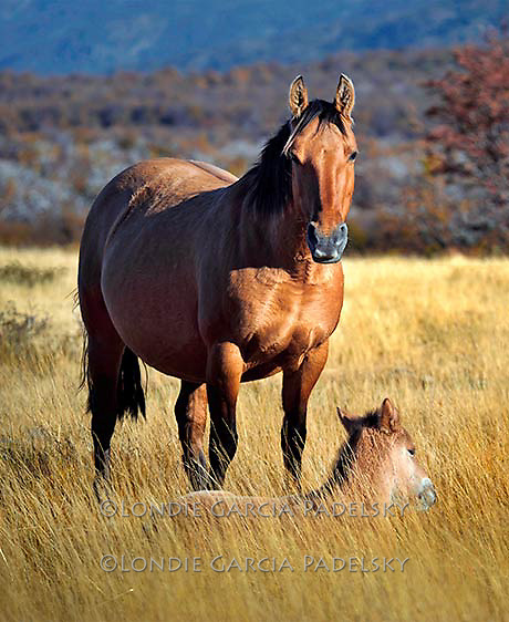 Mare with colt, Patagonia Chile, South America