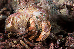 Florida Islands, Solomon Islands; an anemone hermit crab moving over the coral reef at night