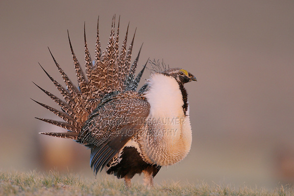 Greater Sage-Grouse (Centrocercus urophasianus), male displaying on lek, Wyoming, USA