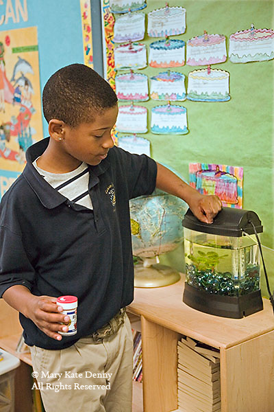 African American 7+ male in school uniform feeds fish food into tank in classroom in Louisiana school