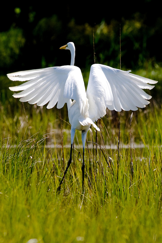 A white heron spreads its wings preparing to take flight.