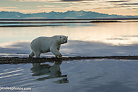 Polar bear walking the shore of the Beaufort Sea in Alaska with the Brooks range in the background
