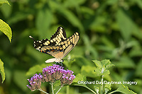 03017-01407 Giant Swallowtail (Papilio cresphontes) on Brazilian Verbena (Verbena bonariensis) Marion Co. IL