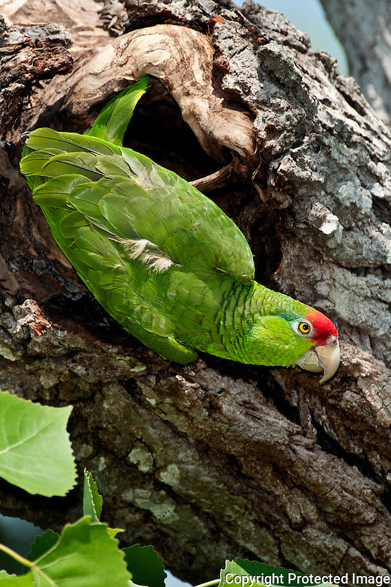 Red-crowned Parrot near its nest