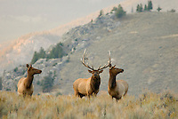 Rocky Mountain Elk herd (Cervus elaphus).  Rocky Mountain area.  Fall.  Right at sunset.