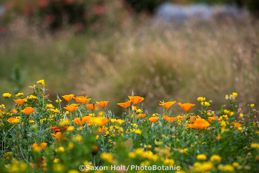 California Poppies, Eschscholzia californica flowering in wildflower meadow with yellow Birdsfoot Lotus, Crescent Farm,  Los Angeles County Arboretum and Botanic Garden